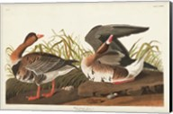 Pl 286 White-fronted Goose Fine-Art Print