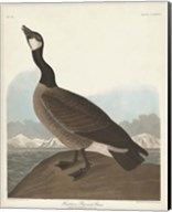 Pl 277 Hutchinss Barnacle Goose Fine-Art Print