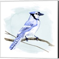 Coastal Blue Jay I Fine-Art Print
