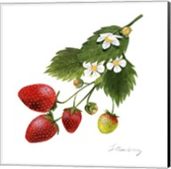 Strawberry Study II Fine-Art Print