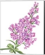 Lilac Flower in Pink Fine-Art Print