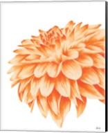 Orange Chrysanthemum Fine-Art Print