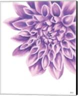 Purple Chrysanthemum Fine-Art Print