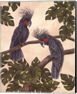Black Palm Cockatoos Fine-Art Print
