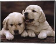 Golden Retriever Puppies Fine-Art Print