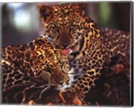 Leopards Fine-Art Print