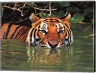 Tiger - water Fine-Art Print