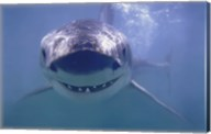 Great White Shark Smiling Wall Poster