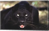 Black Panther Close Up Wall Poster