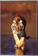Tiger Walking Wall Poster