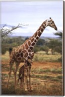 Giraffe And Baby Wall Poster