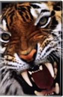Bengal Tiger Close-Up Wall Poster