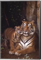 Tiger With Cub Wall Poster