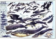Whales and Dolphin Wall Poster