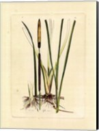 Antique Cattail II Fine-Art Print