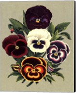 Tricolor Pansies I Fine-Art Print
