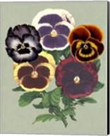 Tricolor Pansies II Fine-Art Print