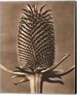 Sepia Botany Study III Giclee