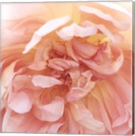 Heavenly Rose Fine-Art Print