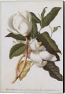 Magnolia Altissima Fine-Art Print