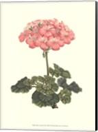 Pink Geranium III Fine-Art Print