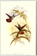 Small Gould Hummingbird I Fine-Art Print
