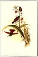 Small Gould Hummingbird II Fine-Art Print