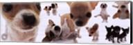 Dogs - Chihuahua Fine-Art Print