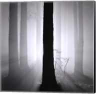 Redwoods, Study 4, Oakland Hills, California. 2002 Fine-Art Print