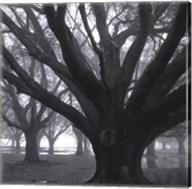 Oak Grove, Winter Fine-Art Print