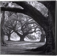 Oak Alley, West Row Fine-Art Print