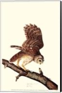 Barrew Owl Fine-Art Print