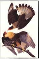 Crested Caracara Fine-Art Print