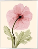 Iceland Poppy I (Med) Fine-Art Print