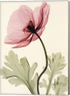 Iceland Poppy II Fine-Art Print
