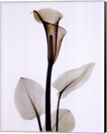 Calla One Fine-Art Print
