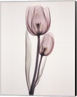 Tulipa Two Fine-Art Print