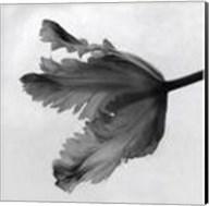 Parrot Tulip II Fine-Art Print