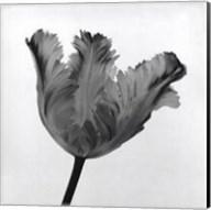Parrot Tulip I Fine-Art Print