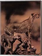 African Cheetah Fine-Art Print