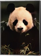 Giant Panda Feeding on Bamboo Fine-Art Print