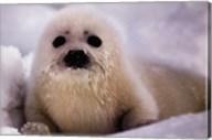 Harp Seal Pup Fine-Art Print