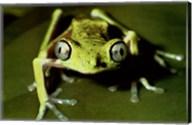 Maki Frog Fine-Art Print