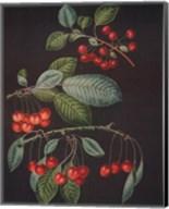 Cherries (A) Fine-Art Print