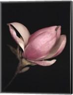 Magnolia II Fine-Art Print