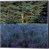 Shadowed Meadow, Sunlit Pines Fine-Art Print
