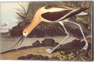 American Avocet Fine-Art Print