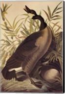 Canada Goose Fine-Art Print