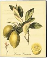 Petite Tuscan Fruits II Fine-Art Print