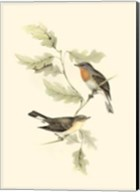 Gould's Red-Breasted Fly-Catcher Fine-Art Print